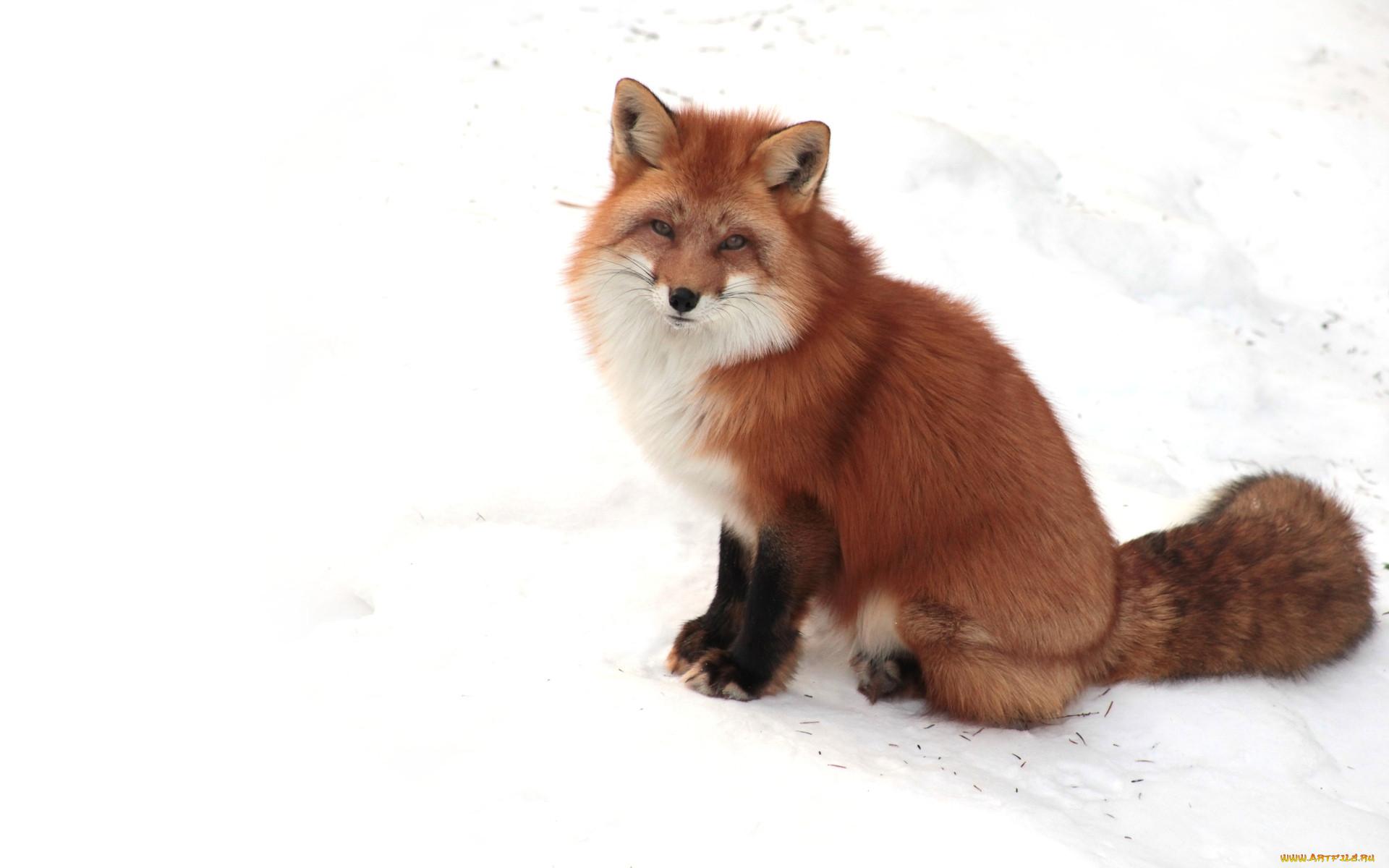 Животные лисы обои для рабочего стола
